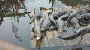 Baby alligators on a wood platform at Smuggler's Cove Mini Golf Course in Tampa, FL
